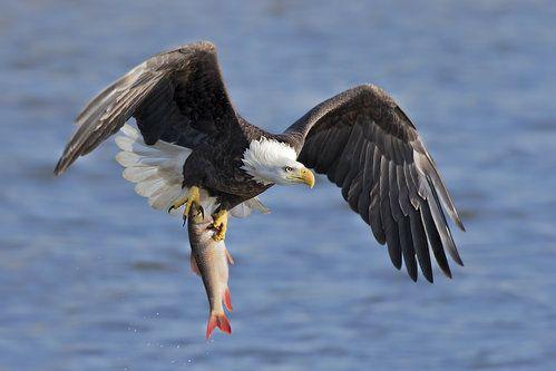 bald eagle fish fishing nature inspiration dr martha castro noriega mexico california america