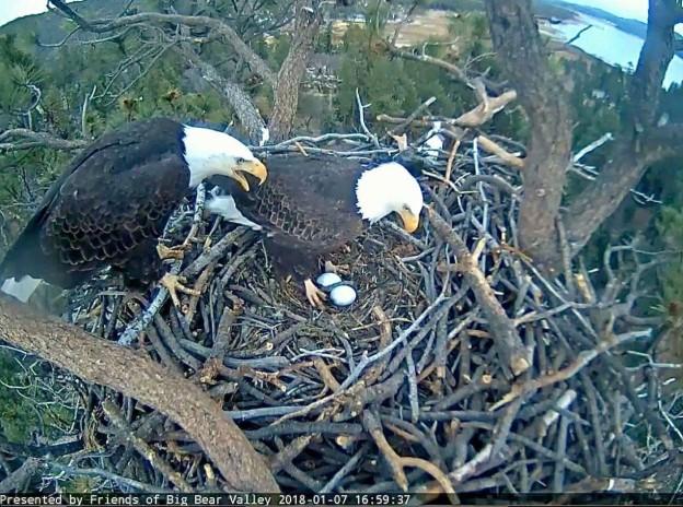 bald eagle birds big bear california dr martha castro noriega mexico tijuana america