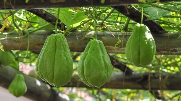 exotic tropical fruit chayote dra martha castro noriega tijuana mexico california america world