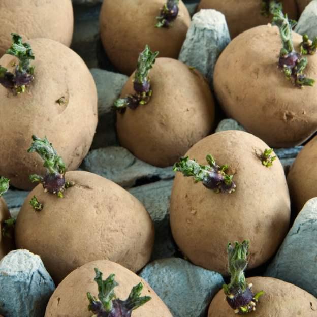 gardening potatoes food dra martha castro noriega mexico